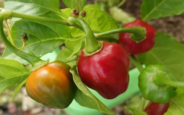 Rama con chiles manzanos