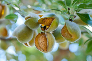 Almendras en ramas del árbol