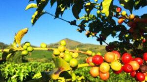 Planta con bayas de café