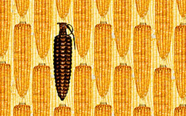 : mazorcas de maíz con una en forma de granada