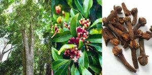 Collage de fotos de la especia clavo de olor, hojas y árbol