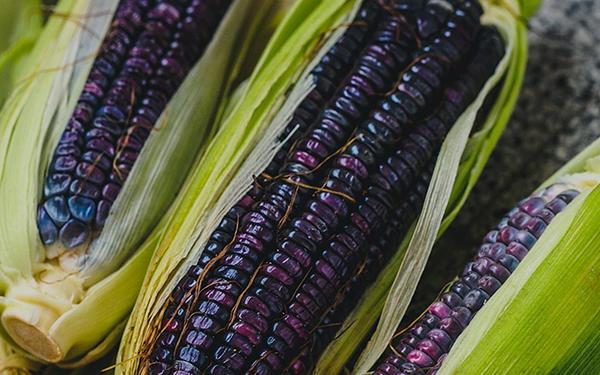 Mazorcas de maíz azul